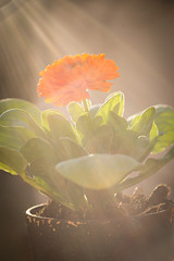 Early spring announcing...! (Solomulala | mostly weekends ;-( !) Tags: orange flower macro primavera backlight contraluz spring flor flare naranja tamron90mm 2014 solomulala murielcdejong
