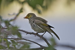 White-plumed Honeyeater taking a dip in lake IMG_9311 (copsychus) Tags: birds australia canberra act tuggeranong 2014