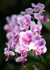 Phalaenopsis 'Pixie' (blumenbiene) Tags: flowers plant orchid flower garden botanical orchids pflanze leipzig phalaenopsis pixie phal orchidee blüte garten blüten boga orchideen botanischer orchideenblüten orchideenblüte