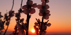 flowers at sunset (Imad Z. ) Tags: flowers sunset red white flower primavera nature zeiss spring tramonto sony natura carl fiori imad fiore rosso bianco          zebala