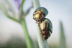 Chrysolina (Taeniochrysea) americana (macropoulos) Tags: topf50 500v20f beetle 500v50f rosemary americana animalia arthropoda coleoptera flypaper chrysomelidae insecta hexapoda canoneos5d texturized canonspeedlite430ex chrysolina 1500v60f 1000v40f cucujiformia polyphaga chrysomelinae chrysomeloidea canonmpe65mmf2815xmacro