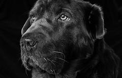 7/52: Love (Explored) (cindytaylor) Tags: week72017 52weeksthe2017edition weekstartingsundayfebruary122017 love bw dog portrait