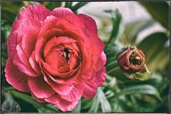 Ranunkel (AD2115) Tags: ranunculus flower spring red