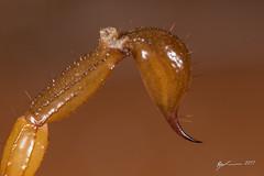 Inland Robust Scorpion stinger (R. Francis) Tags: urodacusyaschenkoi inlandrobustscorpion scotia newsouthwales brokenhill