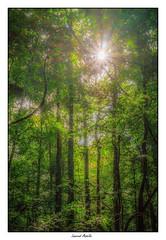 La lumière dans la forêt (Laurent Asselin) Tags: lumière flare arbres forêt guyane