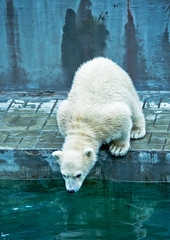 polar bear cub try jump to water (♥Oxygen♥) Tags: afraid animal arctic baby bear beast brother brotherhood careless child childhood cold couple cub cuddly cute dangerous dreadful drink face fearful frisky fur game kid look mammal mischievous natural nature north nose paw playful polar portrait powerful predator raptor sibling strong swim team thirst water white wild wildlife zoo novosibirsk