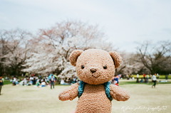 熊熊@昭和記念公園 (紅襪熊) Tags: 昭和記念公園 efinitiuxisuper200 efiniti uxi super 200 sakura 櫻 櫻花 cherryblossoms pink flower flowers blossom blossoms castle cherry cherryblossom cherryblossomfestival cherrytree cherrytrees garden light macro nature park plant sky spring travel tree trees white さくら サクラ 春 桜 花 花見 賞櫻 日本 japan 粉 粉紅 bokeh bear 熊 熊出沒 fujifilm klasse s fujifilmklasses38mmf28 fujifilmklasses f28 fuji superebc ebc 38mm 底片機 傻瓜相機 隨身機 底片 銀鹽 filmphotography