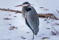 Winter Heron (soupie1441) Tags: great blue heron london ontario canada d7200 nikon nikkor 200500mm snowy thames river winter feather pattern bird animal wild life wildlife profile