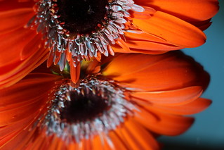 Gerbera, Deep Love...( Orange and Blue ) Macro Mondays
