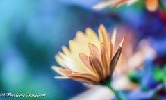 Is it Dark? is it Light ? (frederic.gombert) Tags: dark light macro color colors colored flower flowers nikon daisy d810