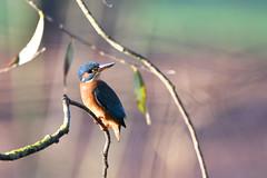 Eisvogel, Alcedo atthis, Eurasian kingfisher, Kingfisher (fotofan mape) Tags: eisvogel alcedoatthis eurasiankingfisher kingfisher