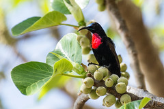Scarlet-chested Sunbird In Fig Tree (Barbara Evans 7) Tags: scarletchested sunbird ethiopia barbara evans7