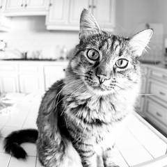 Basile (SylvainMestre) Tags: basile chat portrait