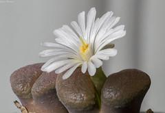 Conophytum (Ophthalmophyllum) triebneri