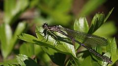 Azure Damselfly ~ Coenagrion puella (teneral female) (Cosper Wosper) Tags: first azuredamselfly coenagrionpuella shapwick somerset levels