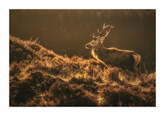 Deer Stalking (Vemsteroo) Tags: deer buck stag wildlife scotland glenaffric antlers beautiful majestic beast golden warm sunrise morning bokeh atmospheric fuji fujifilm xt2 circularpolariser highlands affric nature glorious outdoors exploring travel visitscotland
