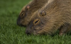 Capybara-6 (tiger3663) Tags: capybara yorkshire wildlife park