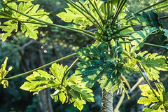 mamão... (@petra (away)) Tags: nature natural tree mamão fruit subtropical leaves green popularfruitinbrazil textures petra