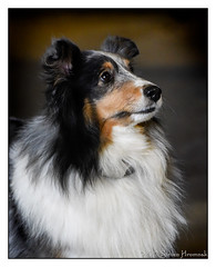 Patches (GAPHIKER) Tags: dog sheltie shetlandsheepdog shetland sheepdog herding patches portrait
