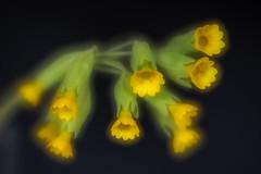 Echte Schlüsselblume (günter mengedoth) Tags: schlüsselblume echteschlüsselblume blume blüte frühling wildblume
