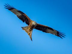 Red Kite (jeffthatcher66) Tags: bird prey hawk kite