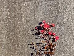 ROSA SUL MURO (dina.elle) Tags: muro rosa resellina inverno gennaio freddo riparato fiori fiore rosso flora natura risaltare raro rarità colline fotografare fotografia colore istantanea ombra ombrasulmuro