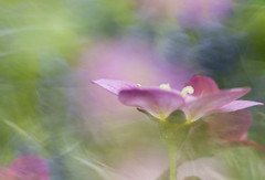 Saxifrage (Ali's view) Tags: mossysaxifrage garden april spring pink colour pastels groundcover closeup macro light bright flower icm intentionalcameramovement multipleexposure