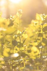 Backlight. (Anscheinend) Tags: backlight sunset sunrise tramonto ocaso sonnenuntergang twilight dämmerung abend abendstimmung field flowers flower blumen feld sun light 28 makro macro compressed