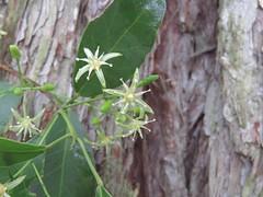 Acronychia laevis 6 (barryaceae) Tags: booderee national park jervis bay nsw australia arfps australian rainforest plant