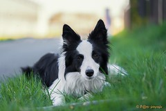 my girlfriend (www.petje-fotografie.nl) Tags: bordercollie huissen noor noortje hond puppy zwartwit