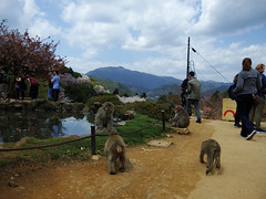 Japanese Macaques in Spring (edamame note) Tags: snow monkey snowmonkey monkeypark iwatayama arashiyama kyoto japan japanesemacaque japanese macaque nihonzaru sakura cherrybrossoms