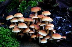 Hypholoma fasciculare, (Sulphur tuft,) (Bernard Spragg) Tags: hypholomafascicularesulphurtuft mushrooms fungi toadstools nature fungus sony