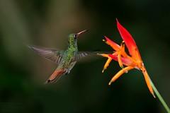 Rufous-tailed Hummingbird (Amazilia tzacatl) La Virgen, Heredia Province, Costa Rica 2017 (Ricardo Bitran) Tags: amaziliatzacatl rufoustailedhummingbird lavirgen herediaprovince costarica birdsofcostarica