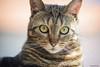 _DSC6118-2 (gRom62) Tags: animali animalidomestici gatti