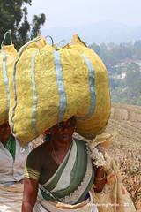 Tea Pickers return from the plantations - Highfields Tea Factory - Coonoor Tamil Nadu India (WanderingPhotosPJB) Tags: india tamilnadu ooty coonoor teaplantation teapickers bags tea highfieldsteafactory carry heavy