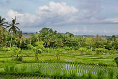 Rice teracce in Bali (Bali10pics) Tags: bali riceterrace nature bali10pics indonesia ubud