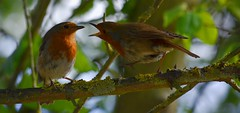ain't big enough for the both of us (simon edge) Tags: nikon d5100 nikkor 55300mm telephoto birds robins robin