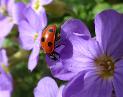 Ladybird (Peanut1371) Tags: ladybird insect bug red black spotted flower purple nationalgeographicwildlife
