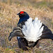 Black Cock displaying (Chas Moonie-Wild Photography) Tags: black cock grouse bird wild moor
