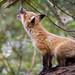 dreamer (LASCAR35) Tags: botanicalgarden fox jardinbotanique montreal pups renard