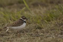 Kleine plevier (Agnes Van Parijs) Tags: bird vogel kleineplevier charadriusdubius weidevogel