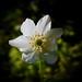 Lightcatcher (Ralf Mooß) Tags: nikon p900 105mm macro nature plant flower woodanemone spring buschwindröschen