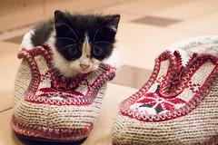 365-115 (Letua) Tags: gato mascota bebe cachorro zapatos pantuflas tejido cat pet shoes babycat knitted kitty double weeklythemes feetshoes