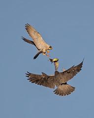 Peregrine food exchange (knobby6) Tags: foodexchange peregrines prey tiercel falcon raptor birdofprey california coast cliffs ocean