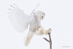 The landing.. (Earl Reinink) Tags: owl raptor pose flight bif birdinflight owlinflight snow snowy snowyowl winter white highkey earl reinink earlreinink niagara ontario nikon eyes animal perch ididuaadoa