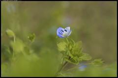 _DSZ9333-03-04-2017-1-  Veronica comune (r.zap) Tags: veronicacomune occhidellamadonna rzap parcodelticino fiori