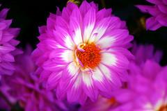 Dahlia potelée et dodue... (Pensive glance) Tags: dahlia flower fleur plant plante