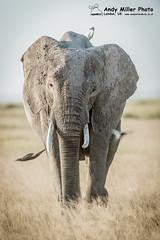 20160216-17-57-31_A015079 2000px (ajm057) Tags: 8takenusing africa africanelephantloxodontaafricana africanbushelephantloxodontaafricana amboselinationalpark andymillerphotolondonuk elephantidaeelephants kenya loxodonta mammal nikond4s proboscideaelephants reservesparks wildlifephotography kajiado ke african elephant