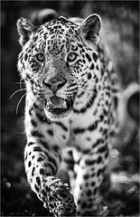 sophia 3 (jdl1963) Tags: wildlife heritage foundation big cat sanctuary carnivore endangered feline smarden kent animal sophia jaguar bw black blackandwhite mono monochrome