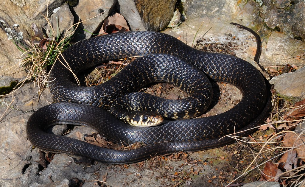 the world 39 s best photos of serpent and viridiflavus